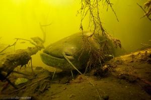 onderwaterfotografie, helder water, meerval, dikke vis, monster, zoetwatermonster