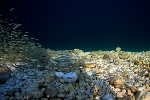 beekforel en elrits, salmo trutta trutta, Phoxinus phoxinus, Bohinjsko jezero