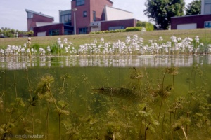 stadsnatuur, stadsvijver, snoek, onderwaterfotografie, helder water