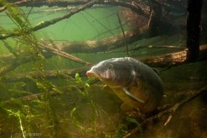karper, Cyprinus carpio, onderwaterfotografie, helder water, onderwater, rivierhout, dood hout