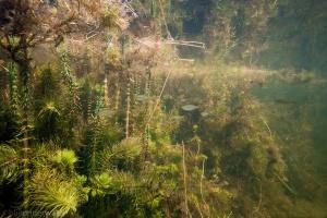 Hippuris vulgaris, Lidsteng, rietvoorn, onderwaterfotografie, helder, water, zoetwatervissen, vis