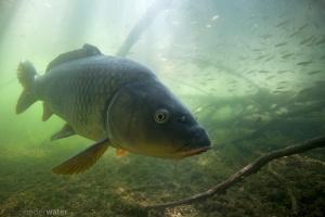 Cyprinus carpio, karper, onderwaterfotografie, vissen, helder