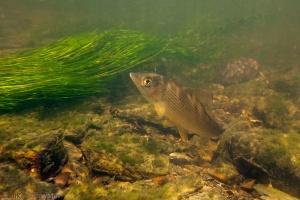 camping maka, rijzende, vis, vlagzalm, thymalus thymalus, onderwaterfotografie