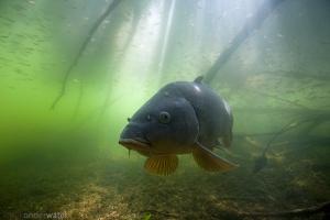 karper, Cyprinus carpio, onderwaterfotografie, helder water, onderwater