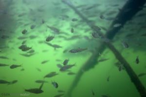 baars,perca fluviatilis, onderwaterfotografie, in sloot en plas, vissen, zoetwatervissen, helder, rivierhout