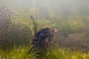 padden, onderwaterfotografie, paddensnoeren, kikkerdril,