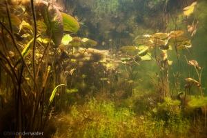 rietvoorn, blikonderwater, onderwaterfotografie, helder water, waterlelie, Scardinius erythrophthalmus