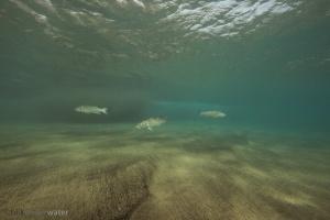 zeebaars, branding, onderwaterfotografie, Europese zeebaars, Dicentrarchus labrax, viswijzer