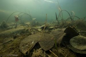 winter, vergankelijkheid, afgestorven, onderwater, vegetatie, waterlelie, wildernis onder water, wildernisonderwater