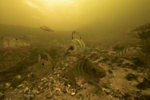 baars, Perch,Barsch, Perche fluviatile, Perca fluviatilis, onderwaterbeelden, onderwaterfoto