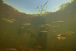 alver, Alburnus alburnus, onderwater, fotografie, vissen, zoetwatervissen, stock