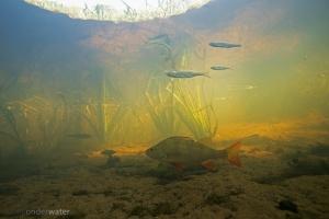 Drentsche Aa. Alver, baars, onderwaterfotografie, stock