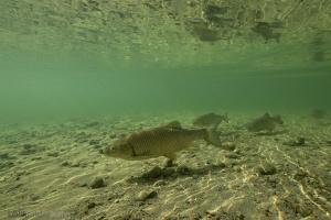 kopvoorn, Rijn, Rhine, Squalius cephalus, Leuciscus cephalus, Cyprinidae, underwater, Rhine