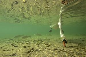 knobbelzwaan, zwaan, Cygnus olor, onderwaterfotografie, blikonderwater
